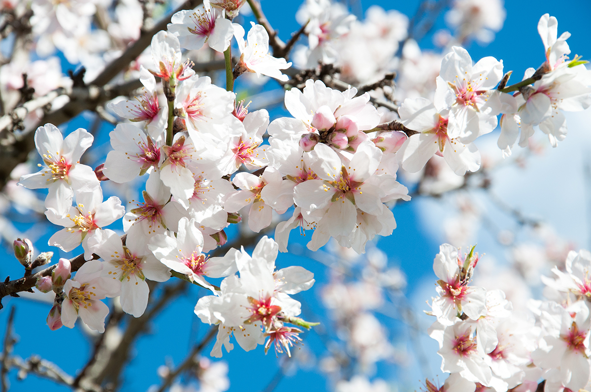 Beautiful almond flowers on an almond tree.