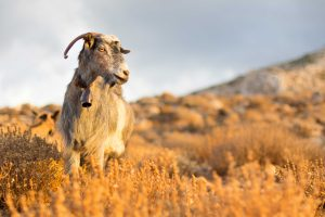 A goat standing in the sun.