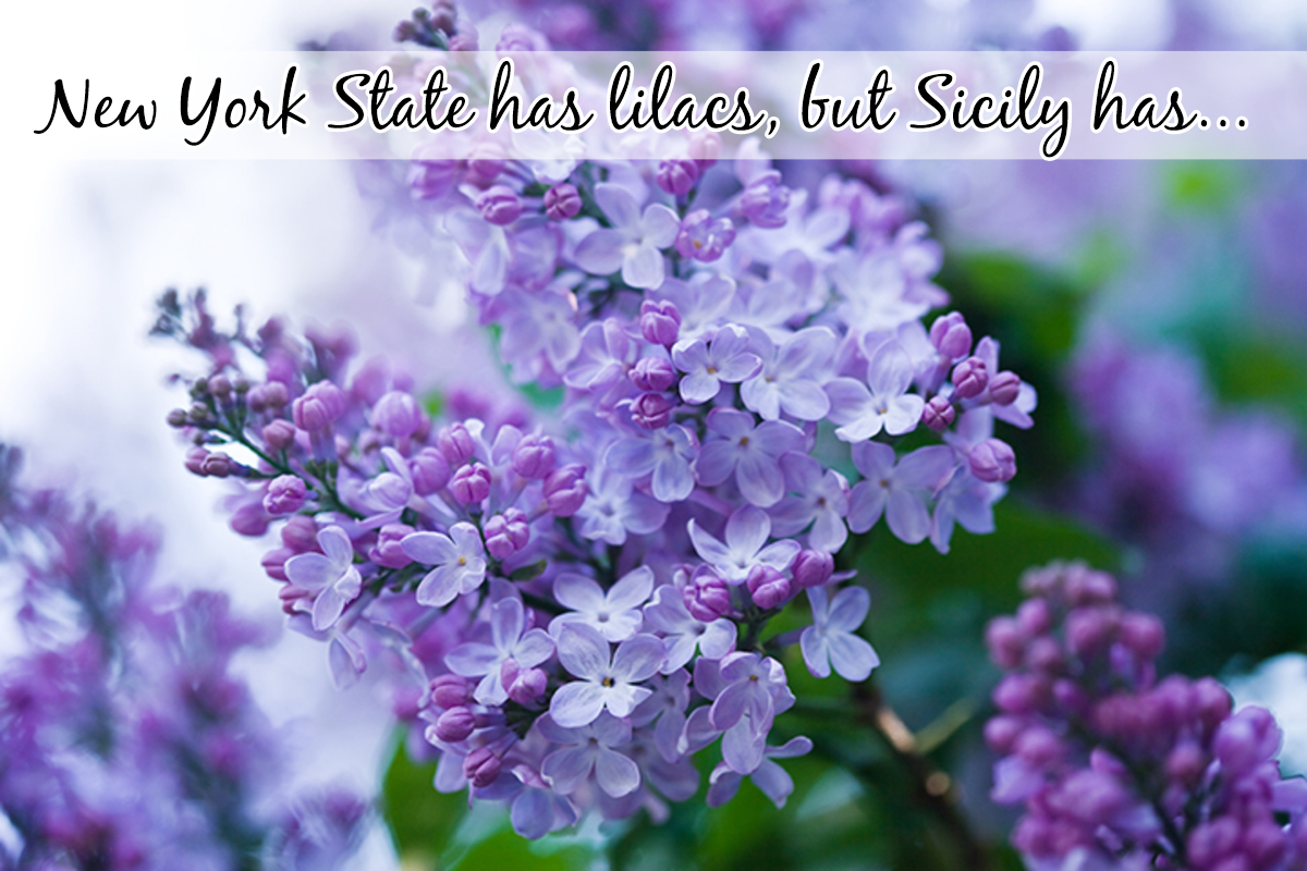 The scent of beautiful Purple Lilacs